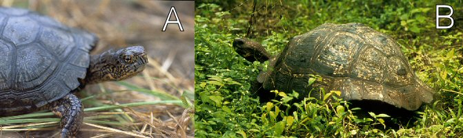 Eastern box turtle and Galapagos tortoise